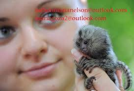 Capuchino, mono tití, ardilla y monos araña a la v