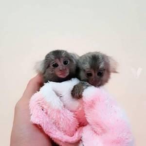 Lindo mono titi para venta