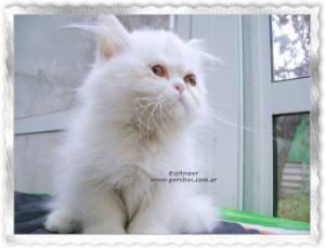 gatos persas, exoticos e himalayas Grimper