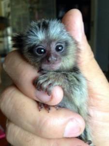monos titi,monos Capuchin, monos ardilla y monos a