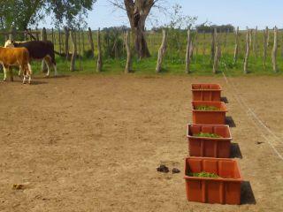Hongo desalienta la alimentación de las vacas