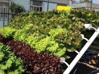 INTA: novedosa forma de cultivar sin suelo, sin malezas y sin plagas