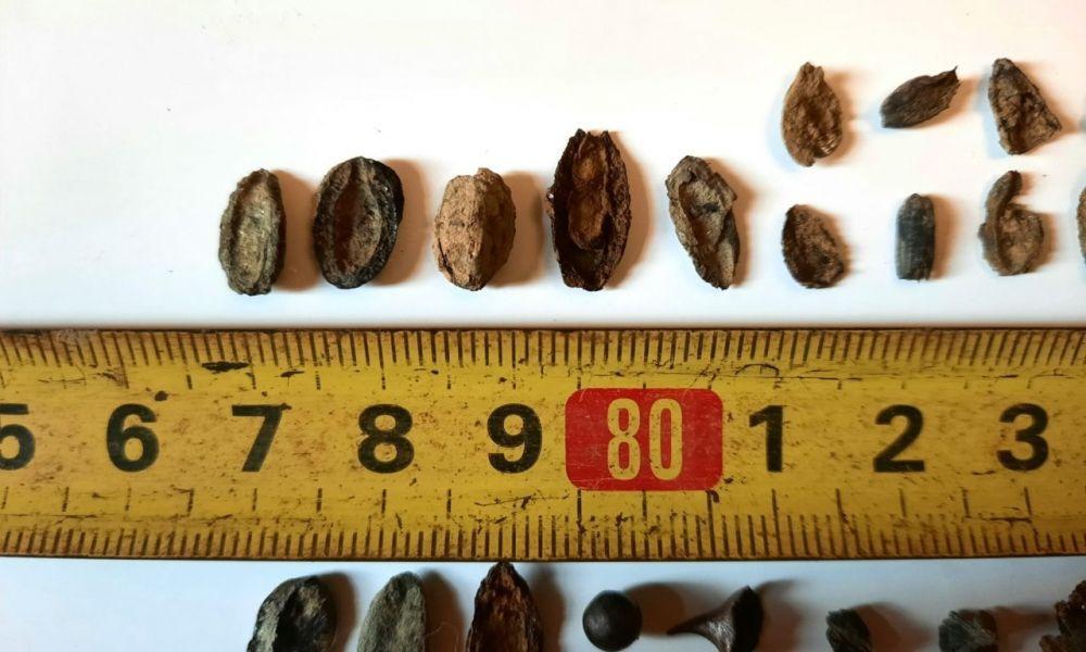 Encuentran fósiles de semillas