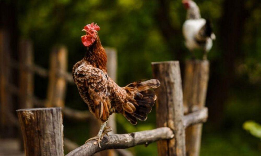 Recibió una multa por el canto de su gallo