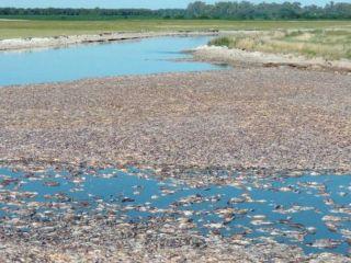 Junín: Impactantes imágenes de la mortandad de peces en las cercanías de la laguna El Carpincho