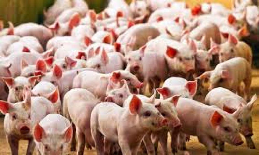 Cerdos en la mira de nueva pandemia